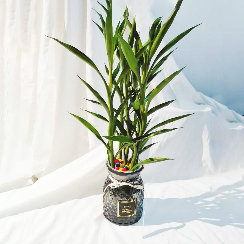 6根富贵竹