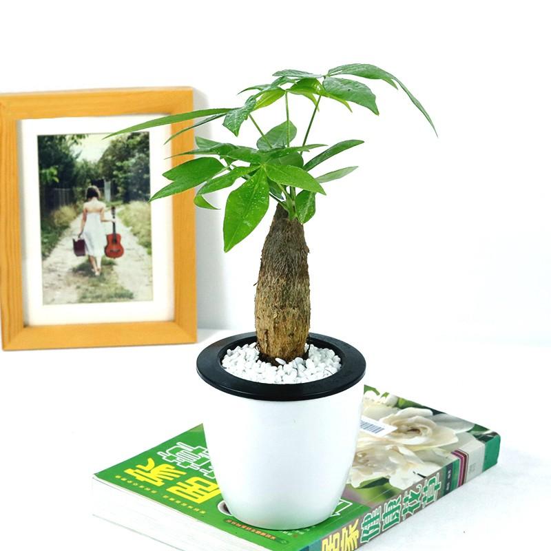 发财树盆栽